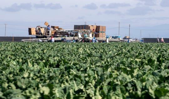 Esta foto de archivo muestra a campesinos el 2 de mayo del 2020 trabajando para recolectar y empacar frutas y verduras durante la pandemia de COVID-19.