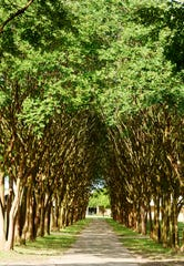 Among several major projects LSUS has underway while students and faculty aren't on campus is a contract to trim more than 1,300 trees at a cost of more than $300,000.