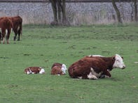 A trio of baby beef calves relax in a pasture south of Fond du Lac.
