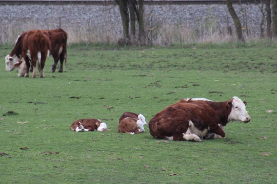 There are various factors to consider for having a successful breeding season and one of those factors is cow's body condition.