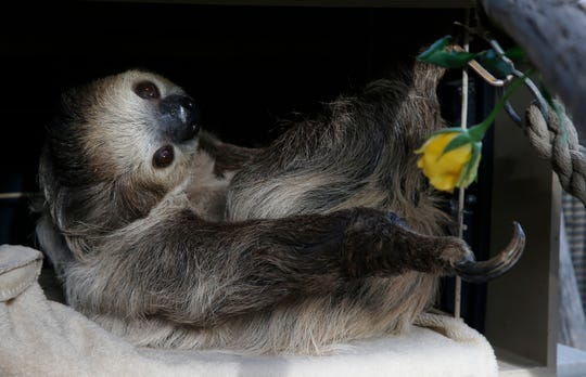 Fernando, the two-toed sloth, reaches for a yellow rose to eat inside his habitat at the Phoenix Zoo Monday, April 27, 2020, in Phoenix.