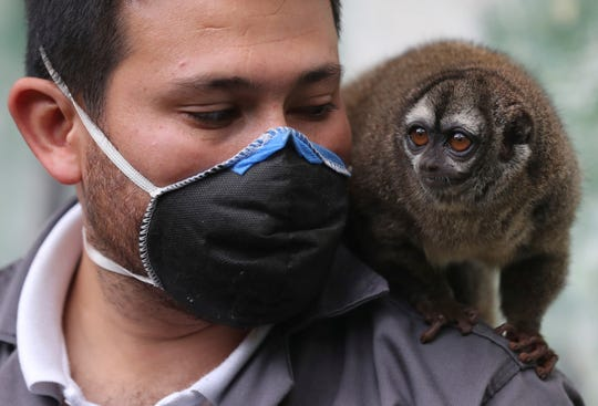 A monkey sits on the shoulder of zookeeper Jorge Mogollon at the Santacruz Zoo which is closed amid a lockdown to help contain the spread of the new coronavirus in San Antonio, near Bogota, Colombia, Tuesday, April 21, 2020.