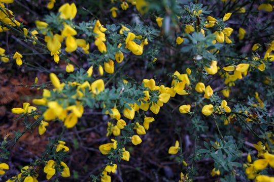 Often seen in clear-cuts, neighborhoods, and along highways, the invasive plant Scotch broom causes problems for native plants and wildlife.