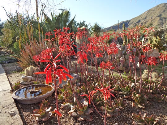 The birds perch on the sides of these stout aloe stalks to feed, then drop down to drink every evening before sunset.
