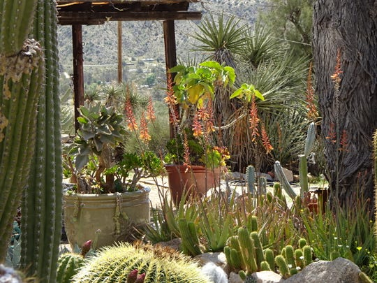 Cold, hardy aloes in my high desert garden provide nectar to birds coming to drink each day.