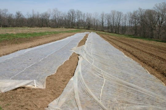 Floating row covers are stretched across a field of early sweet corn.