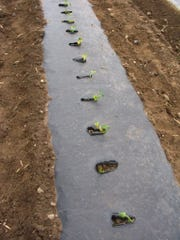 Black plastic mulch warms the soil for heat-loving crops.