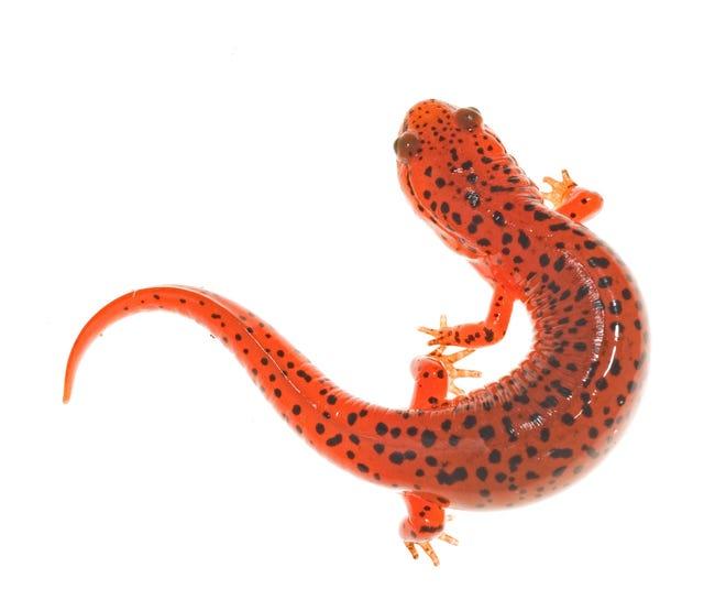 Black-chinned red salamander