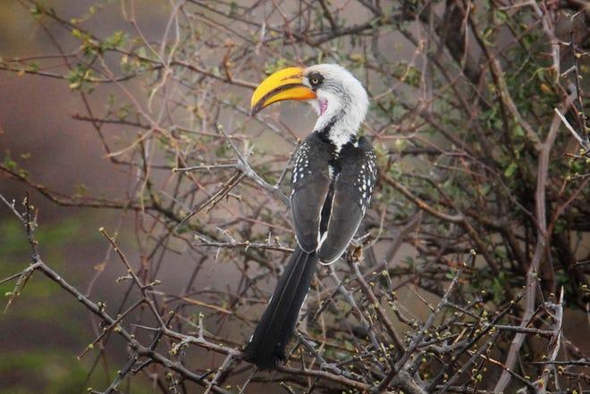 The yellow-billed hornbill
