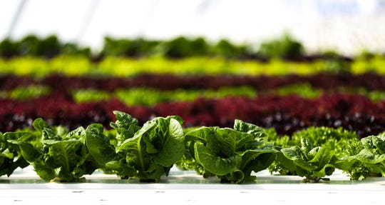A row of lettuce growing at Ledgeview Gardens in De Pere.