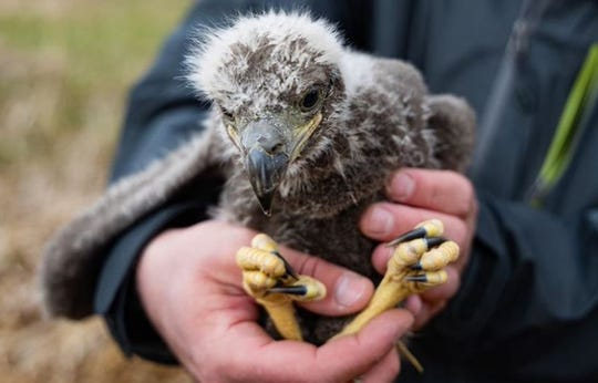 Two orphaned baby eagles in the Bozeman area were successfully relocated to a nest near Clarkston.