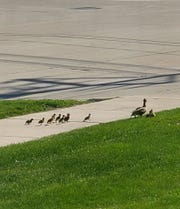 Some ducklings and a mama duck were saved by City of Manitowoc workers May 5.