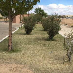 Buffalograss turf planted in an Albuquerque median in mid-May.