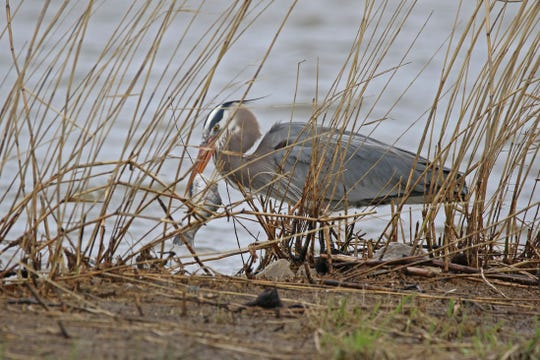 Lake Erie wetlands all across northwest Ohio have still been bustling with bird activity, such as this great blue heron grabbing a meal at Meadowbrook Marsh.