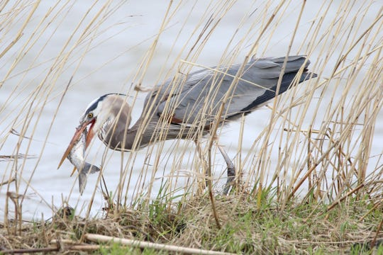 A great blue heron snares a fish at Meadowbrook Marsh in Danbury Township.