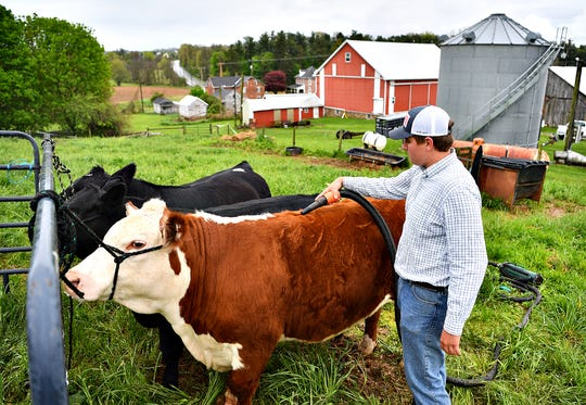 Justin Werner, 17, demonstrates how dries the coat of his steer in West Manheim Township, Wednesday, May 6, 2020. Werner has been showing animals through 4-H for nine years. Dawn J. Sagert photo