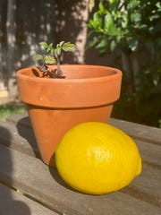 Los Angeles entertainment attorney Michelle Seañez swapped lemons for a tomato plant with a neighbor through the Nextdoor social network.