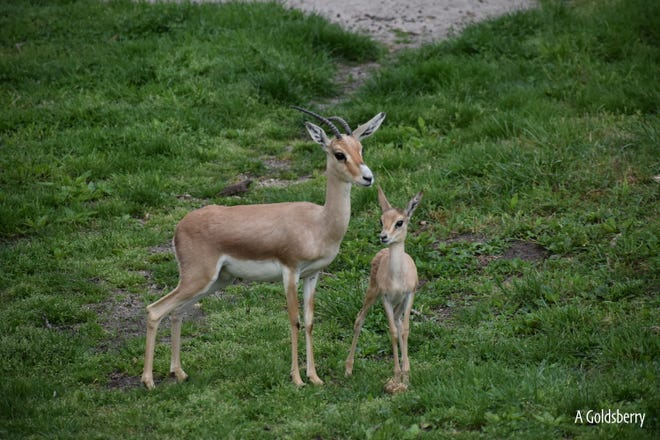 A slender-horned gazelle calf was born at Blank Park Zoo April 8. The calf, named Ruth, was allowed outside with its mother Friday.