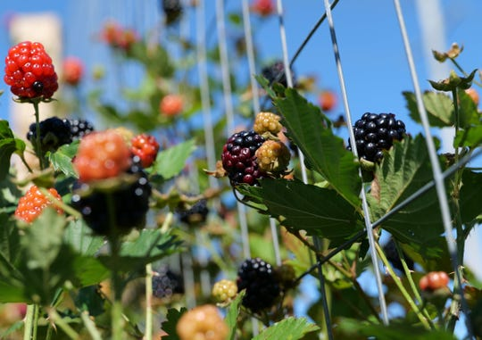 Blackberries should be picked only when they are fully ripened. The blackberry in the center is not ripened enough, as indicated by its purple drupelets. The berry to the right of it is fully blackened and ready to pick. Blackberries will taste sour and acidic if you pick them too early.