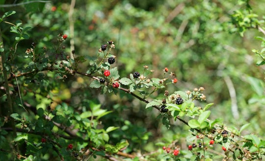 Dewberries grow in fields, along roadsides and in ditches and tend to have trailing vines. Their berries are smaller than the berries produced by cultivated blackberry bushes.