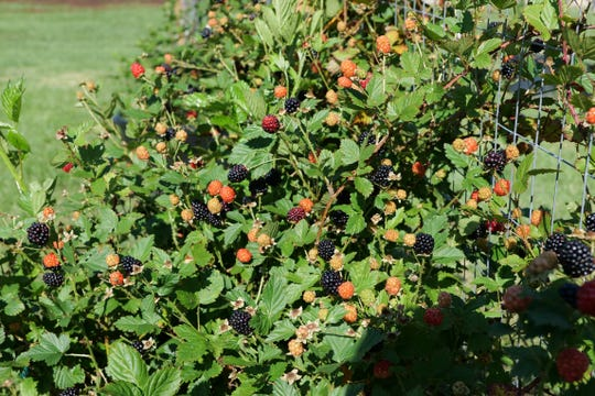 Cultivated blackberries tend to have erect stems, as seen on this Brazos variety. Dewberries, or wild blackberries, tend to be low, trailing vines.
