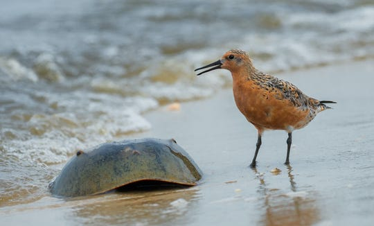 Endangered red knots feast on horseshoe crab eggs along the Delaware Bayshore each May.