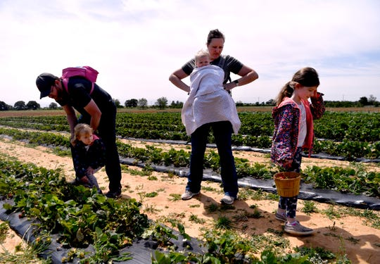 The Schumpert family of Abilene - father Wade, mother Leah, 4-7ear-old Emily, 9-month-old Hanna and 6-year-old Lainey - search strawberries not picked by the previous groups that visited Denton Valley Farms earlier Friday morning.