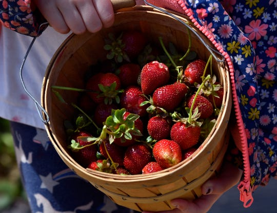 Lainey Schumpert, 6, holds the basket of strawberries she picked Friday at Denton Valley Farms near Clyde.