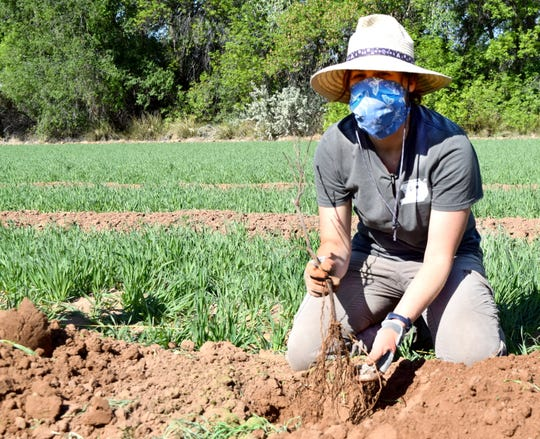Miranda Kersten, senior program specialist at New Mexico State University's Agricultural Science Center at Los Lunas wears a face mask while planting table grape vines for a variety trial supported by New Mexico Department of Agriculture specialty block grant.