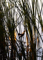 A bird flies between reed stalks along the shore of Kirby Lake.