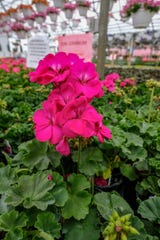 Healthy geranium plants are on display at Lansing Gardens Sunday, May 10, 2020.