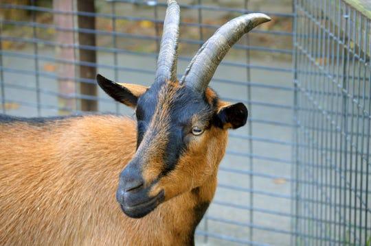 An Oberhasli goat