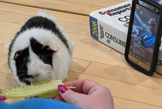 Matilda chomps a lettuce leaf from the hand of Janet Lubben, technology services librarian, while a phone camera streams the process live on Facebook to Matilda's homebound fans.