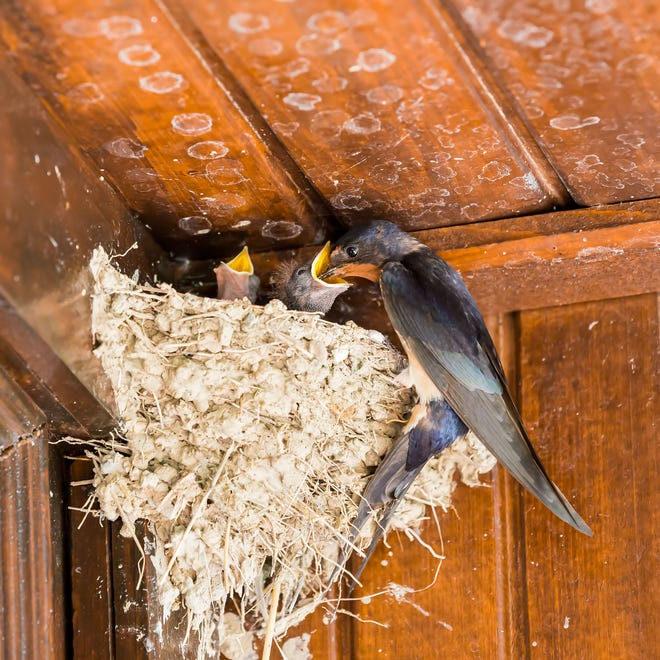 Swallow (Hirundo rustica) with very hungry chicks