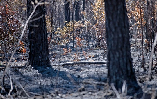 Remnants of burnt wood and ash mark the landscape off Hurst Hammock Road on Monday, May 11, 2020, from a  wildfire that scorched more than 1,200 acres in the area last week.