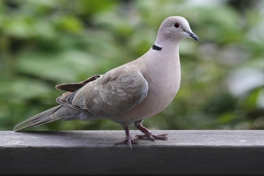 A Eurasian collared-dove captured by a CDFW scientific aid during a banding operation.