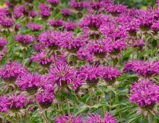 Bee Balm wildflowers are available for sale during the Watershed Committee of the Ozarks' first native plants sale.