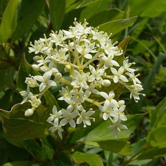 Flowering Gray Dogwood trees are among several native Missouri tree varieties included in the sale.