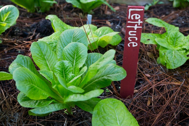 People needing advice on growing their own produce can now get useful, timely information from a new web page, launched by UF/FAS Extension.