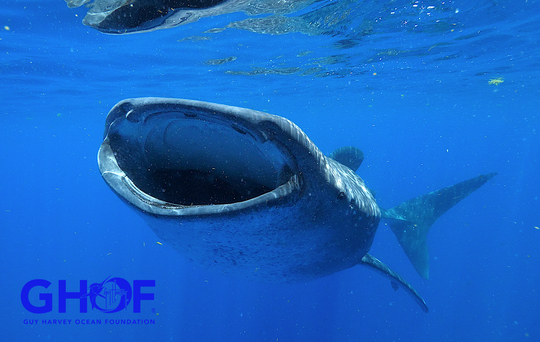 Whale shark Rio has been carrying satellite tags since 2007 and has taught researchers a great deal about the movements of her species.