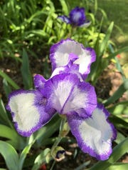 "Stepping Out is Pug Parris's sentimental favorite iris, the last to bloom at her house this year. ""She looks as beautiful as the first time I saw her in 1970,"" she said. It was the 1968 Dykes Medal winner and judged third in Pug's poll."