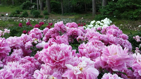 The peonies have bloomed for nearly 100 years at the the University of Michigan's Nichols Arboretum.