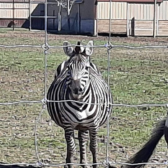A zebra at the Boulder Ridge Wild Animal Park, which plans to open Friday.