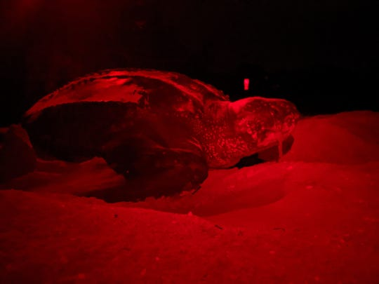 A nesting leatherback sea turtle was spotted during a Sanibel-Captiva Conservation Foundation nesting survey Sunday, May 11, 2020.