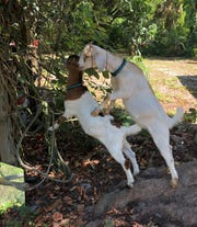 Yum - Confederate jasmine. Vesta uses Annie to get in better position for a good mouthful.