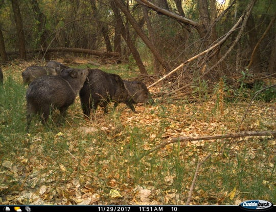 Javelina captured on a motion-sensor camera installed by Sky Island Alliance at the San Pedro river near the international border.
