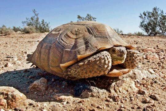 FILE - This Sept. 3, 2008 file photo shows an endangered desert tortoise in the middle of a road at the proposed location of three BrightSource Energy solar-energy generation complexes in the eastern Mojave Desert near Ivanpah, Calif., just south of the Nevada state line. The Trump administration has given final approval to the largest solar energy project in the U.S. and one of the biggest in the world despite objections from conservationists who say it will destroy habitat critical to the survival of the threatened Mojave desert tortoise in southern Nevada. (AP Photo/Reed Saxon, File)