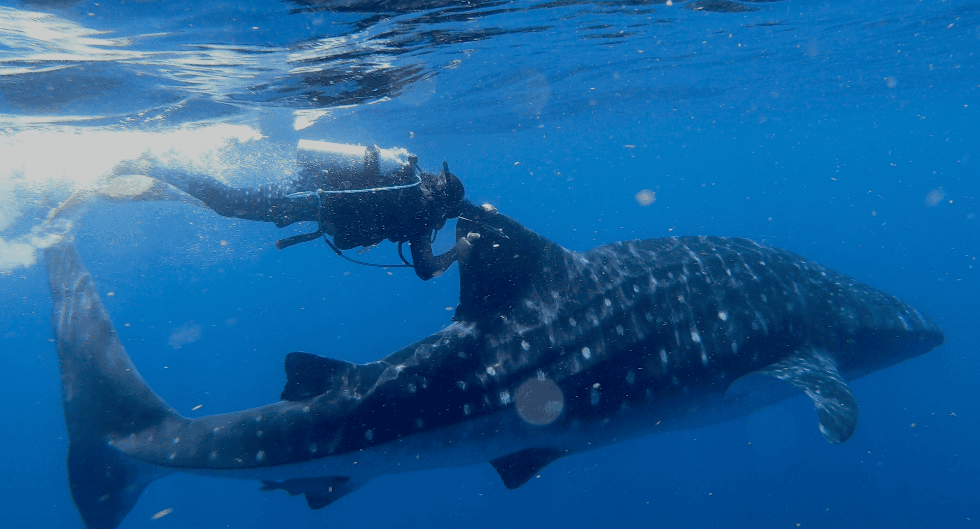 Whale shark tagged off Yucatan pings, tells researchers...