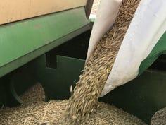 Seed oats