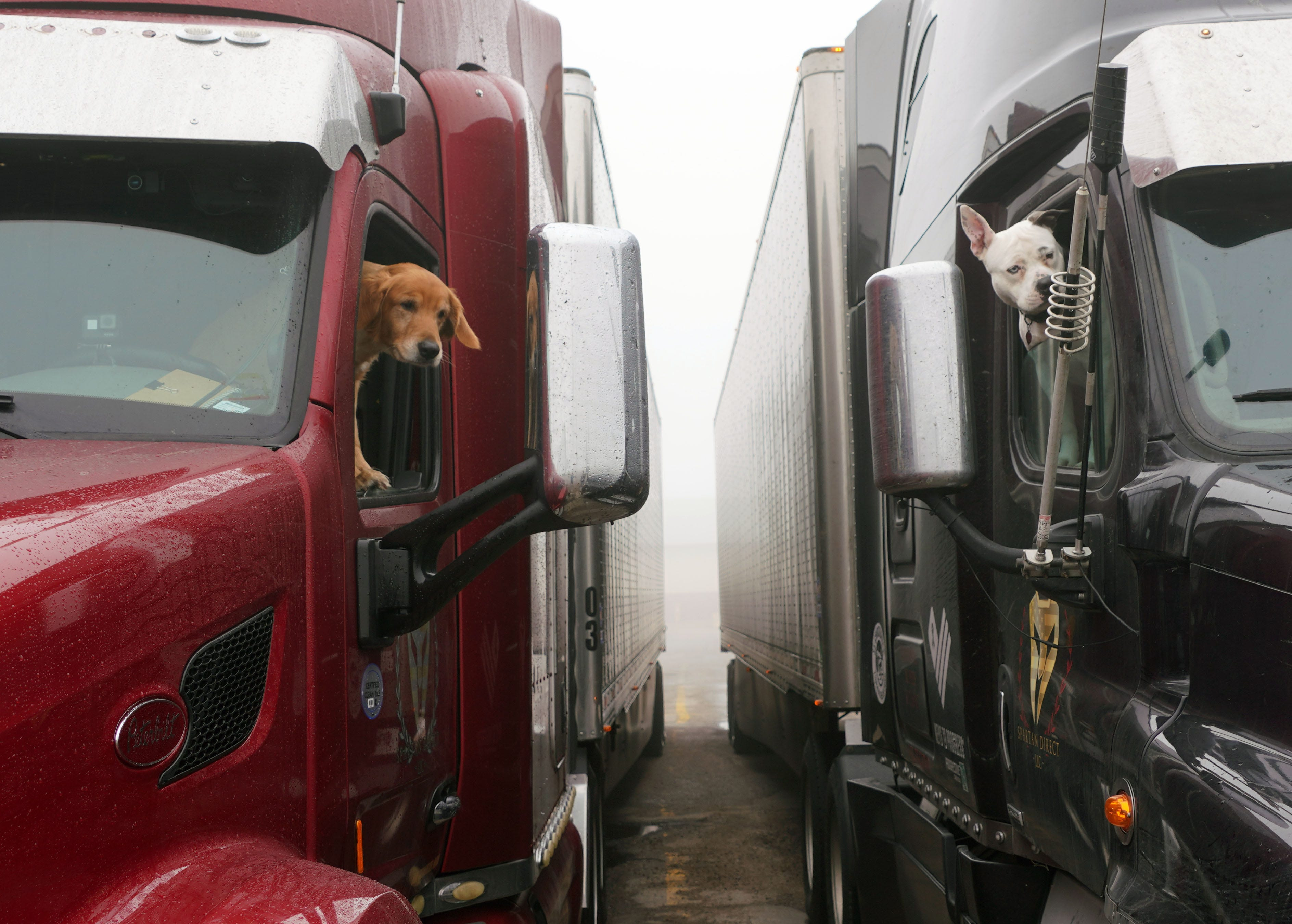 Truck dogs Oliver, left, and Sergeant, look out the windows of their owners' trucks at a rest stop near Cheyenne, Wyoming.